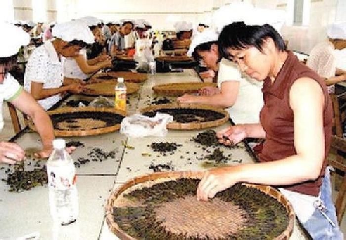 苦呈茶生産工場風景