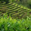 烏龍茶 畑