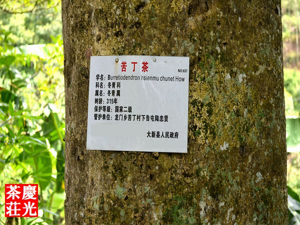 苦丁茶茶樹