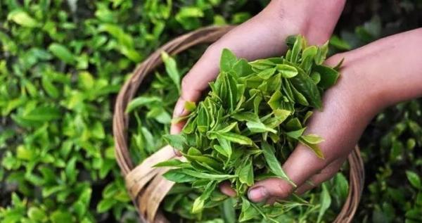ウーロン茶 茶葉イメージ