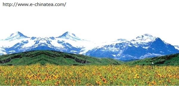 雪菊 崑崙山脈