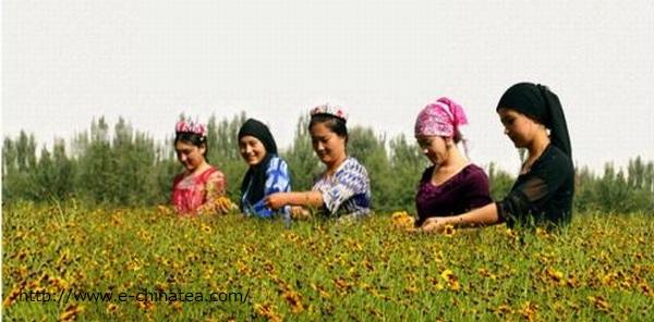 雪菊 収穫 女性