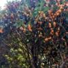 金木犀の樹