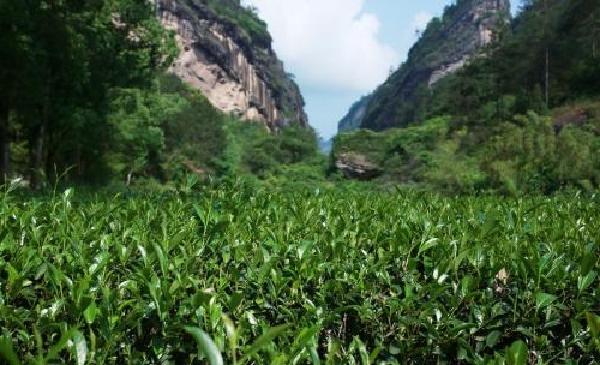 岩茶の畑 イメージ