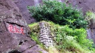 岩茶 大紅袍 母木
