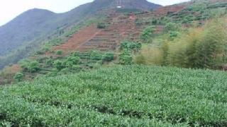 黄金桂_茶畑