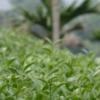 茶畑を見つめる男性