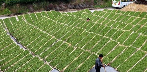 白茶の乾燥風景