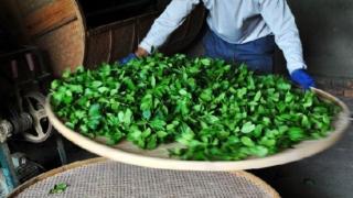 伝統的製法で烏龍茶を仕上げる人