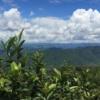 雲南省の茶畑遠景