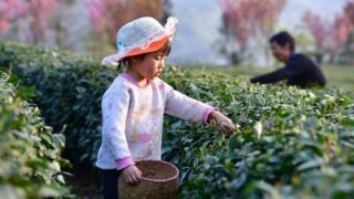 茶畑の子供