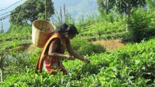 スリランカの茶畑で紅茶を摘む女性