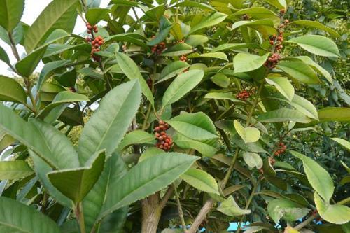 苦丁茶の原木