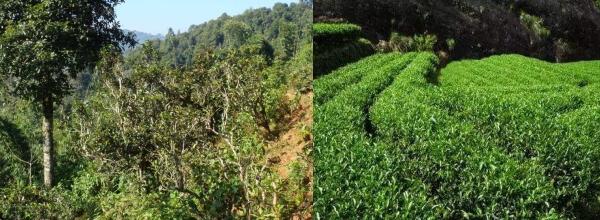 烏龍茶VSプーアル茶_茶樹
