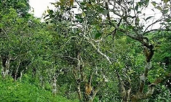 雲南省の古い茶樹