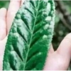 雲南大茶樹
