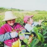 雲南大葉を積む女性たち