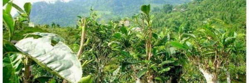 プーアル茶の茶樹