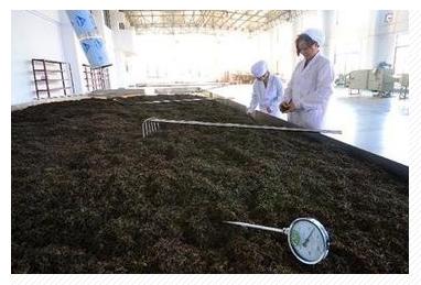 プーアル茶製造工程 握推