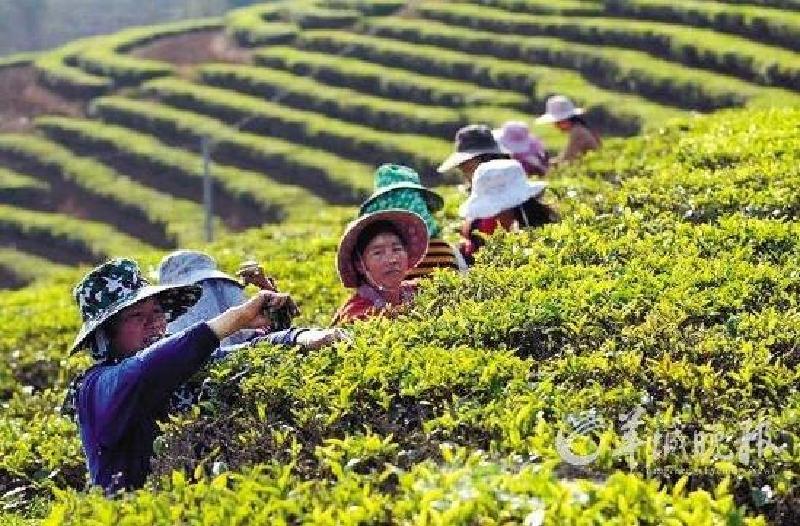 プーアル茶 茶摘み