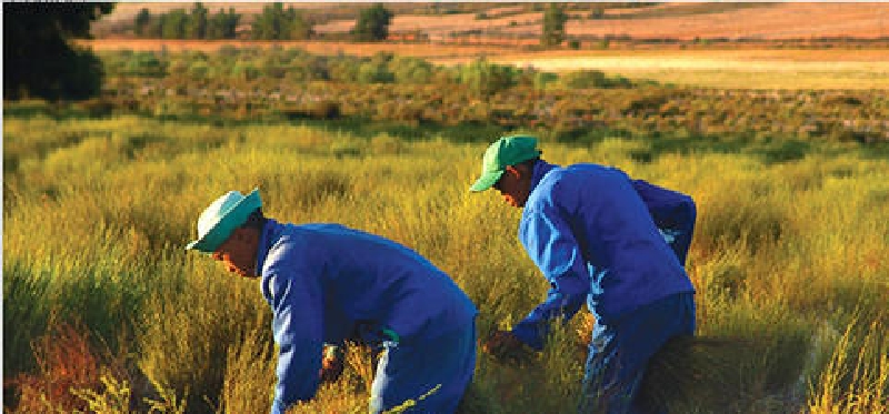 ルイボスティ収穫