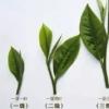 普洱茶の茶葉のグレード