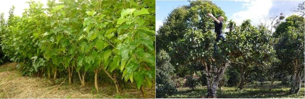 杜仲茶 普洱茶の原木