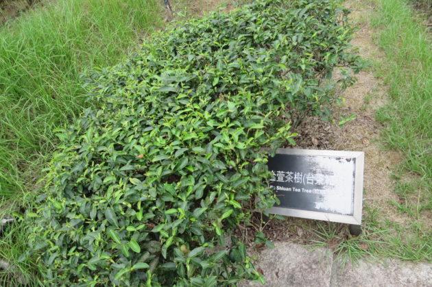 台湾茶 金宣茶樹 台湾茶12号