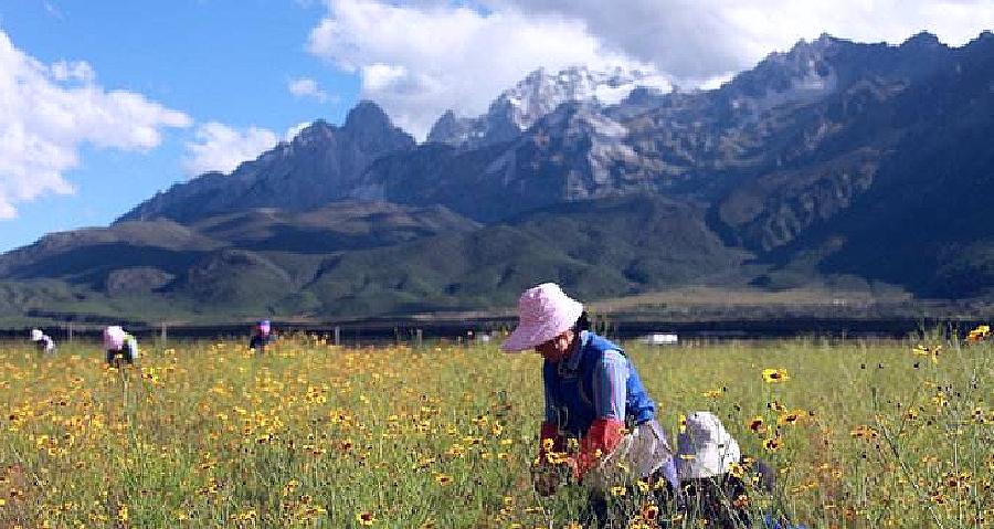 崑崙山脈を背景に雪菊茶を収穫する女性