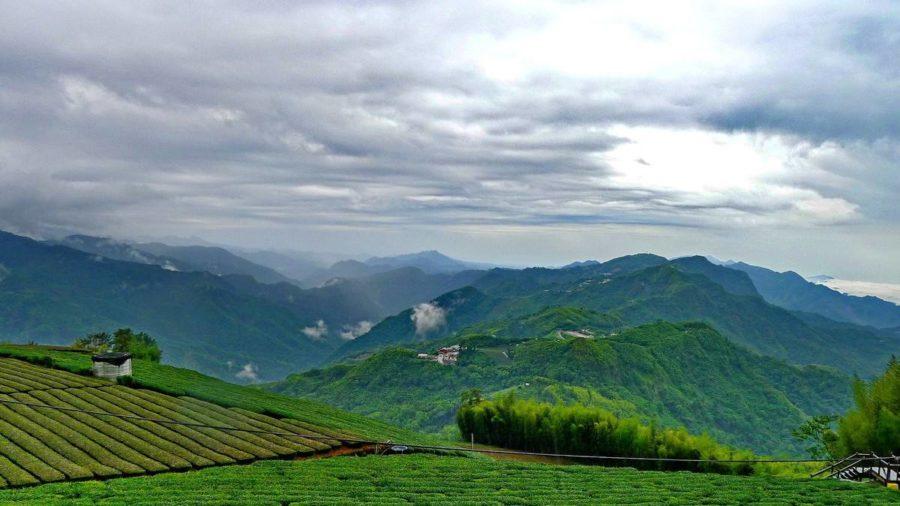台湾高山の茶畑