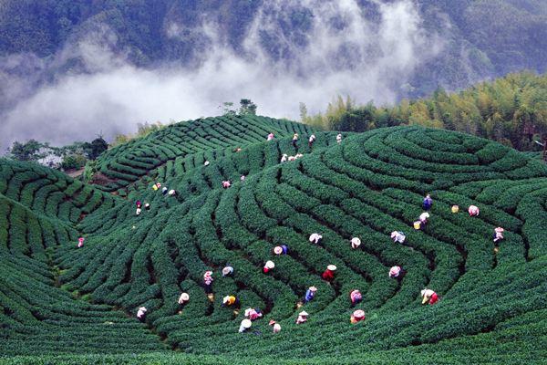 台湾 高山で茶葉を摘む
