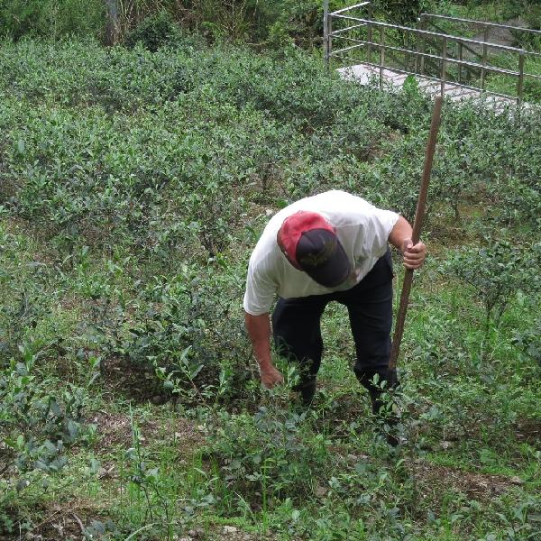 台北の茶畑で作業する人