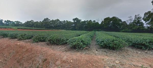 台湾 苗栗県の茶畑