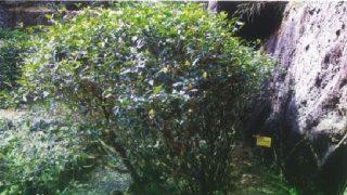水金亀原木