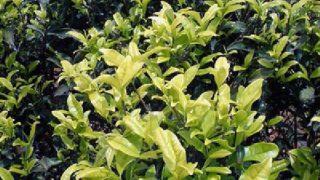 白鶏冠 茶樹