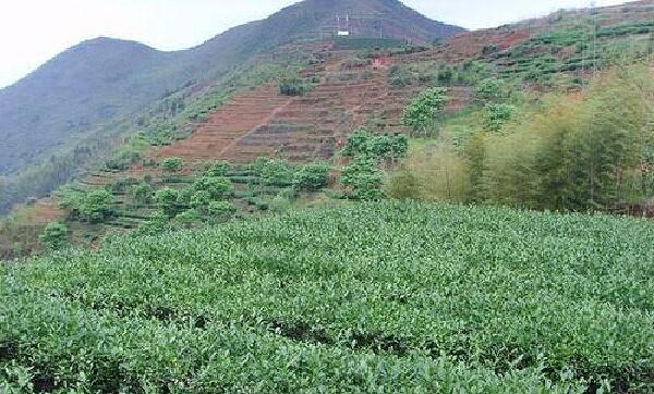 黄金桂_茶畑1