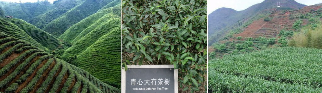 台湾鹿谷茶畑の山 青心烏龍茶 鉄観音の里安渓