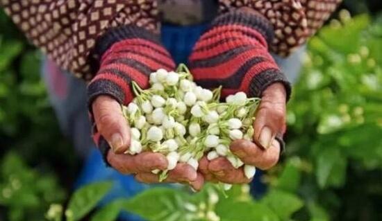 ジャスミンの花を持つ女性の手