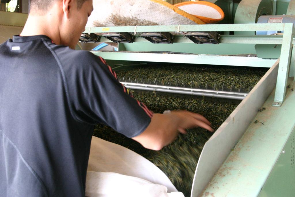 ほぐした烏龍茶を乾燥させる男性