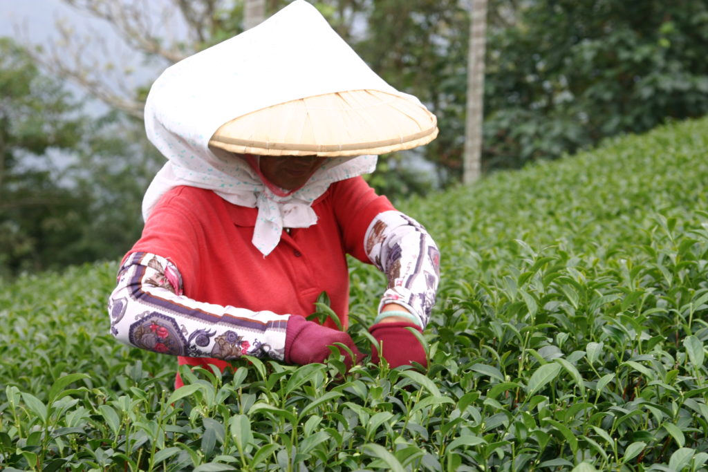 烏龍茶を摘む女性
