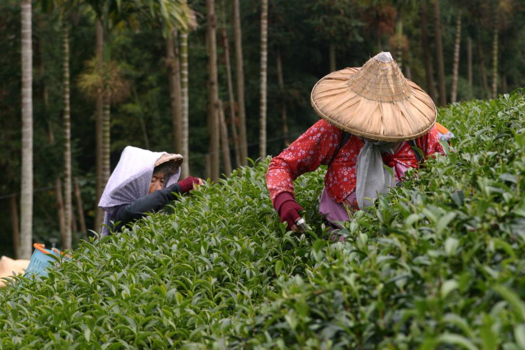 茶葉を摘む人々