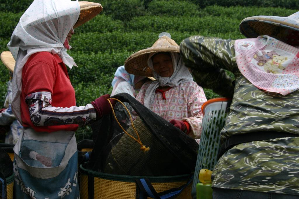 烏龍茶を摘んだ女性たち
