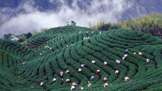 台湾中部の高山茶の茶畑