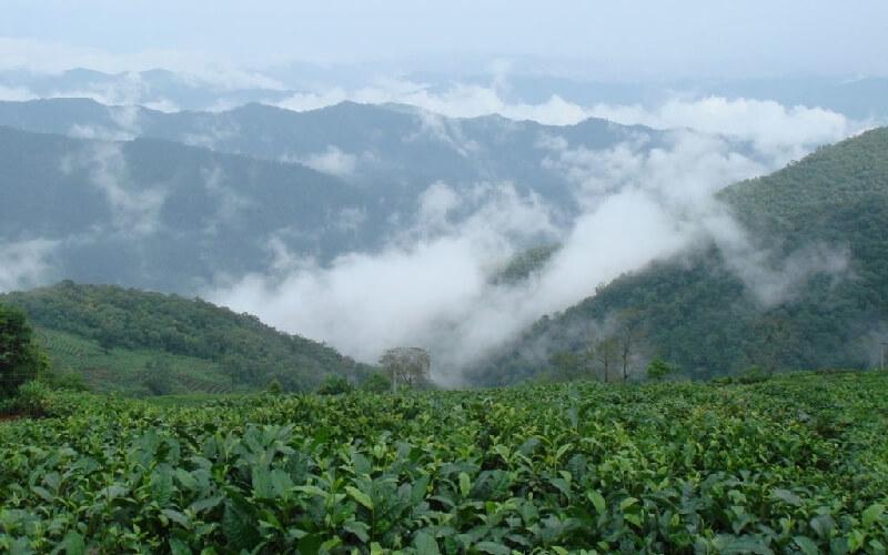 雲南省の茶畑
