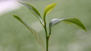 烏龍茶の茶葉
