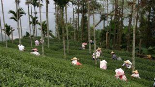 台湾の茶畑