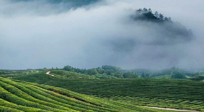 福建省の茶畑