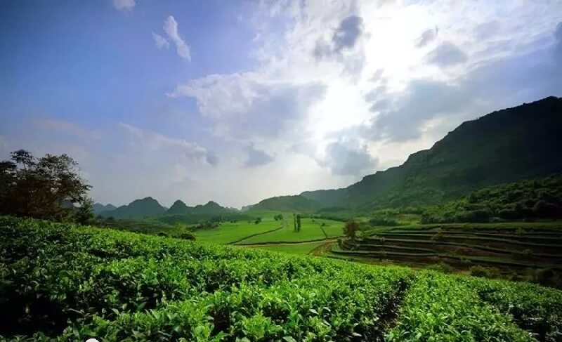 広東省の茶畑