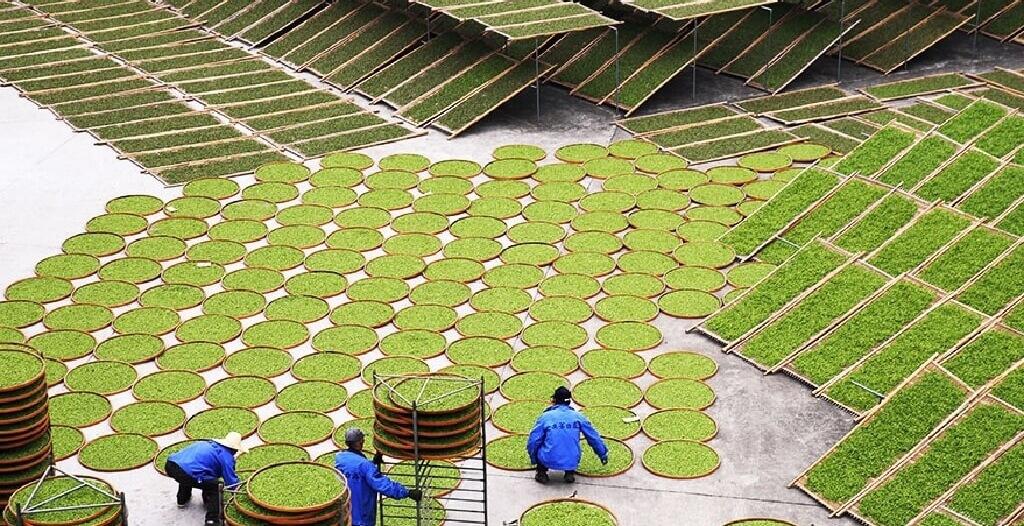 白茶の製法