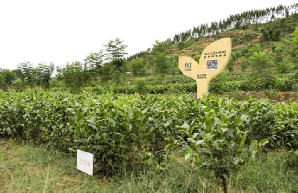 茶畑のイメージ